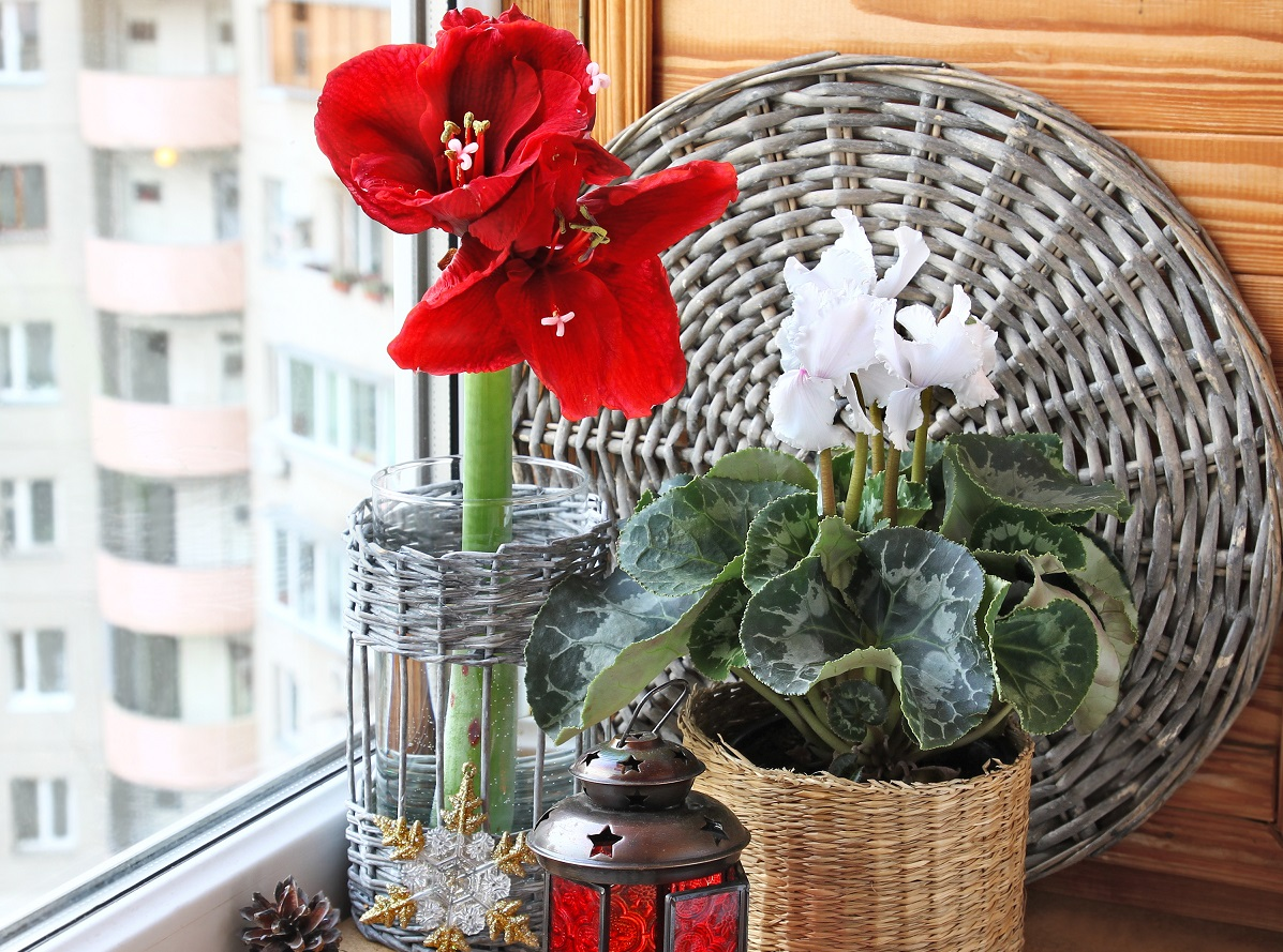 Beyond Poinsettia: Holiday Plants for Indoors and Outdoors