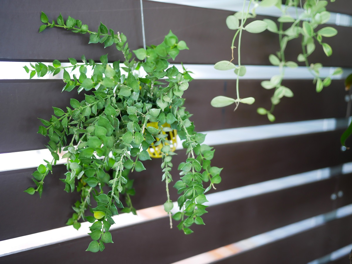 Blog Por Indoor Hanging Plants For Low Light