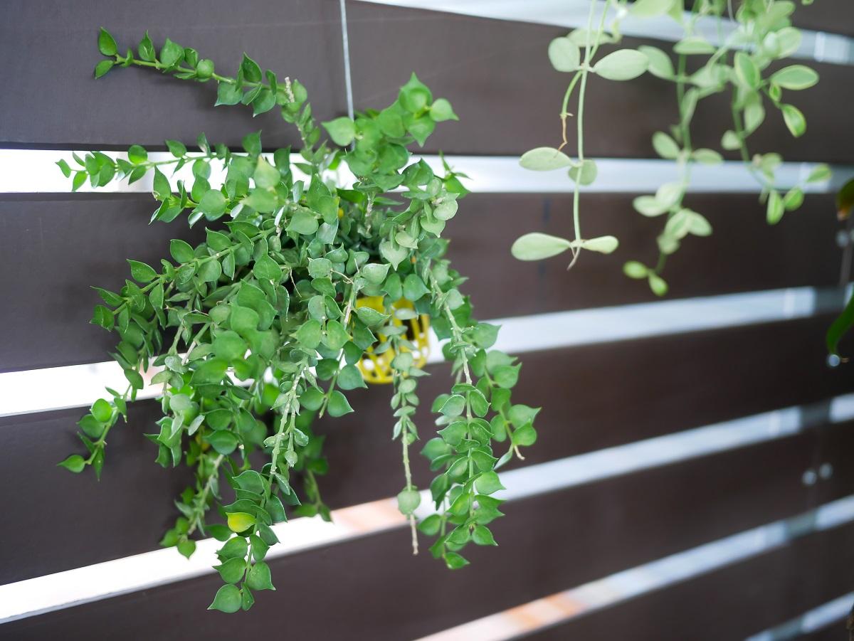 Low Light Plants - Popular Indoor Hanging Plants for Low Light